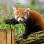 Red Pandas Puzzle Switch FREE 1.0 APK